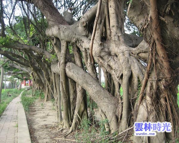 盤根錯節的樹