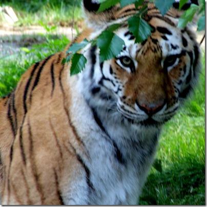 tiger-bronx-zoo