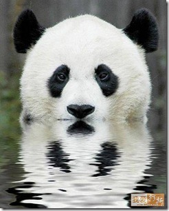 panda in water with reflection