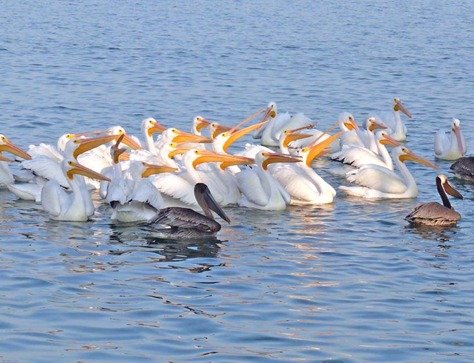 Pelicans at Fish Cleaning Station
