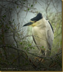 - Black-crowned Night Heron_ROT1482 March 10, 2012 NIKON D3S