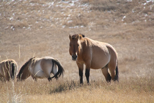 Przewalski's Horse (Takhi)