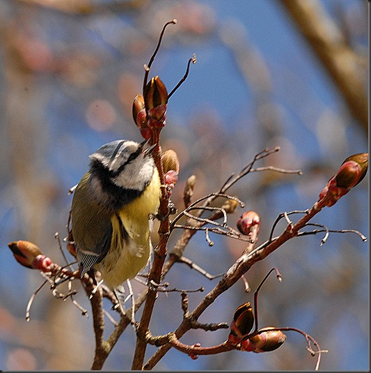 sinitiainen  lintuja 033