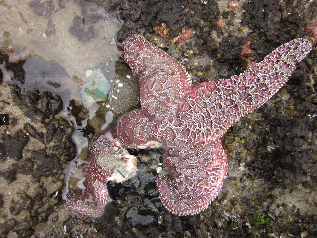 A dying sea star. The leg of this purple ochre sea star in Oregon is disintegrating, as it dies from sea star wasting syndrome, 16 May 2014. Oregon had been the only part of the West Coast that had been largely spared this devastating disease. Photo: Elizabeth Cerny-Chipman / Oregon State University / flickr