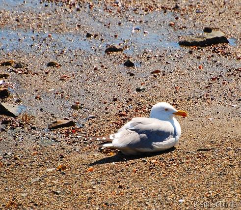 3.. Herring gull-kab Acadia NP