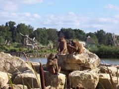 2004.08.27-029 babouins