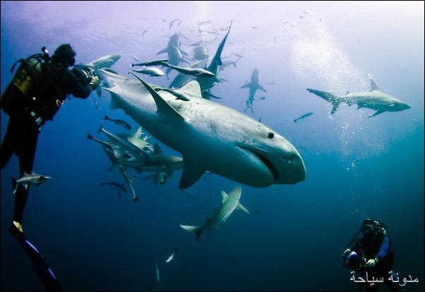 الغوص مع اسماك القرش