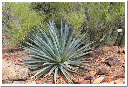 120728_ArizonaSonoraDesertMuseum_Agave-palmeri_01