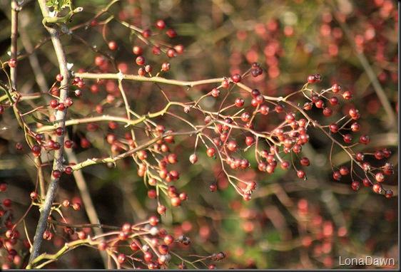CH_Berries2