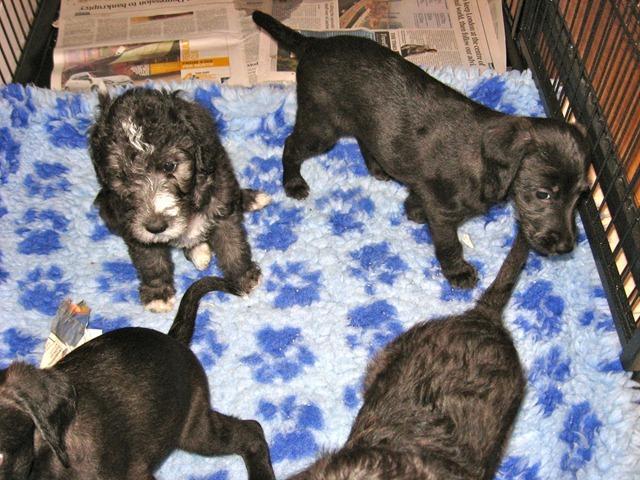 Shamba Pups 2