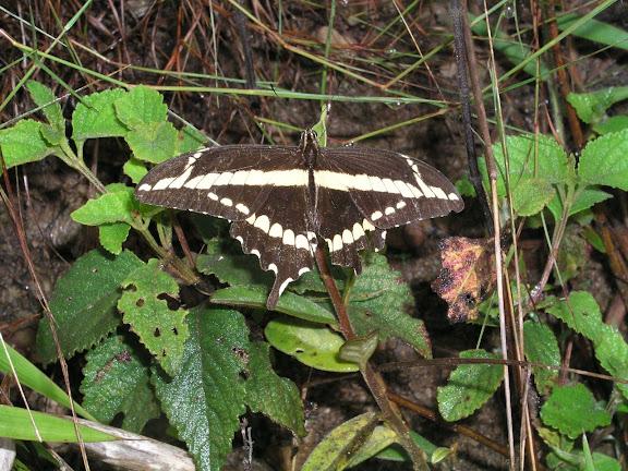 Papilio paeon paeon BOISDUVAL, 1836. Coroico (1800 m), Bolivie, 10 janvier 2004. Photo : H. Bloch