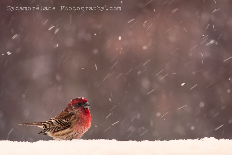 SycamoreLane Photography--house finch