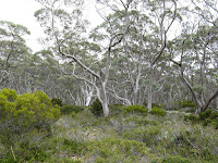 Snow gum woodland Photo