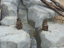 2014.04.21-015 babouins de Guinée