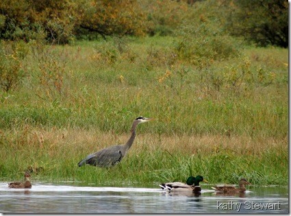 Heron and Mallards