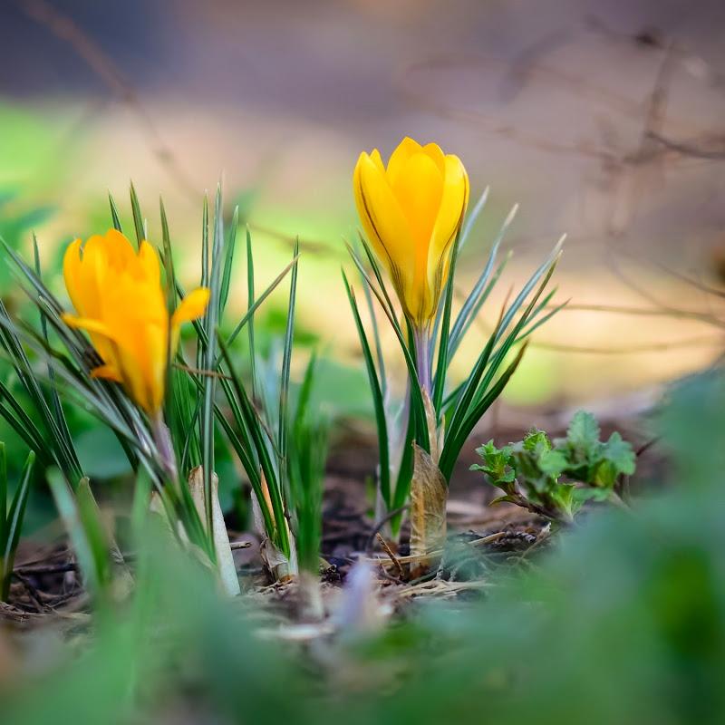 spring crocus-19354