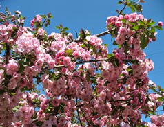 crab apple tree 2014  f