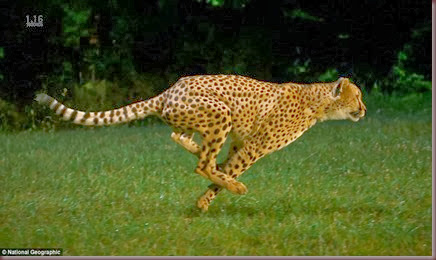 Amazing Animal Pictures Cheetah (2)