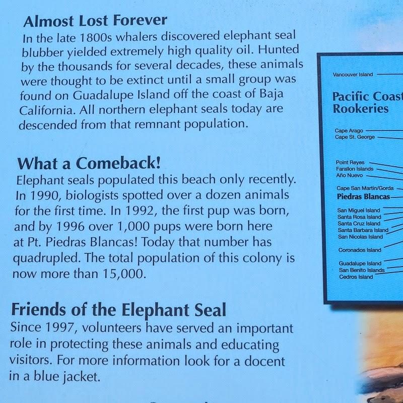 elephantseals-3