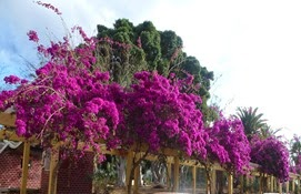 ten017 bougainvilea colonnade belten