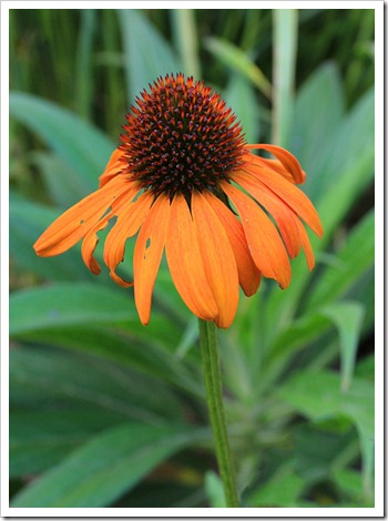120615_Echinacea-Tiki-Torch_10
