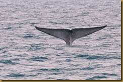 - Blue Whale FlukeMSB_7692 searcher day 3 May 31, 2010 NIKON D300S