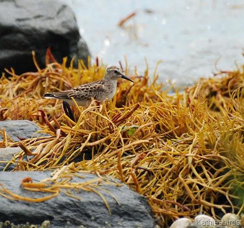 7. sandpiper in eeel grass-kab