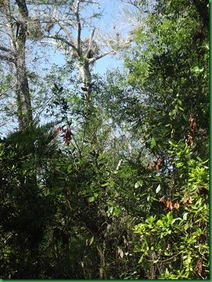 Fakahatchee,  Collier-Seminole, Pather NWR & Chokoloskee 052