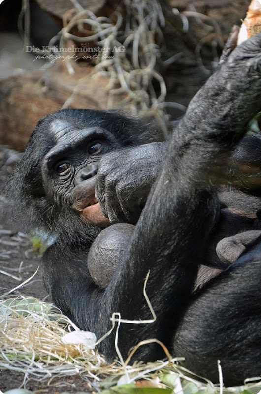 Zoo Frankfurt Bonobo 150813 (3)