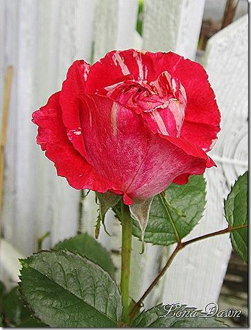 Rosebud_Scentimental_Floribunda