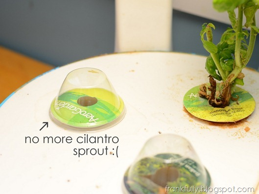 I killed the cilantro sprout! :(