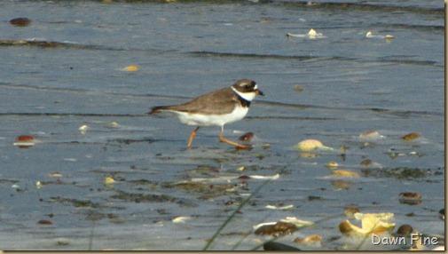 birding south beach_012