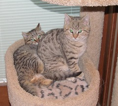 kittens on cat tree2 1.26.13