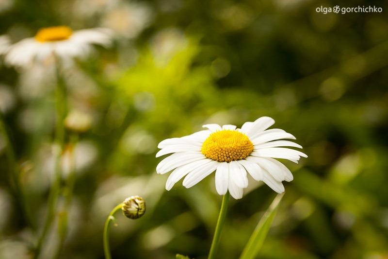 letniye cvety_8