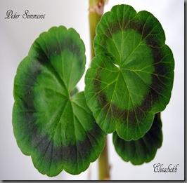 Pelargonium juni-11 126