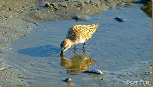 tern island birding_082