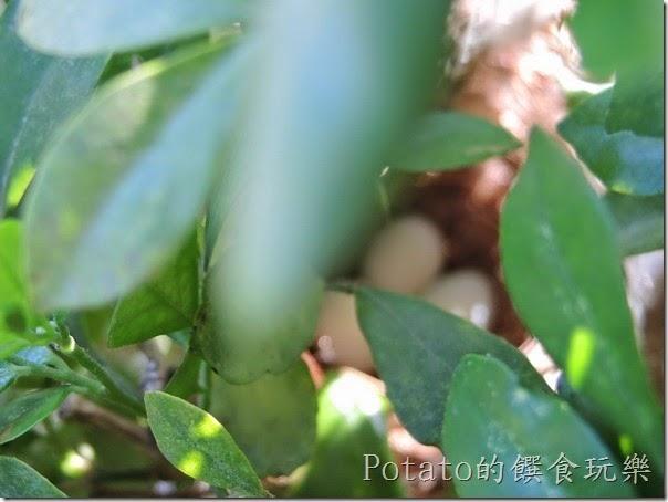 綠繡眼在我家築巢9