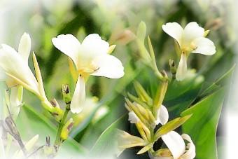 白花蓮蕉1