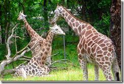 bronx-zoo-giraffes_thumb%255B1%255D