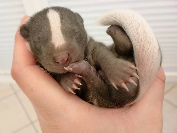 baby-badger