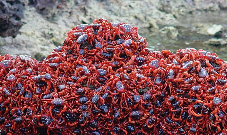 red-crab-migration-11