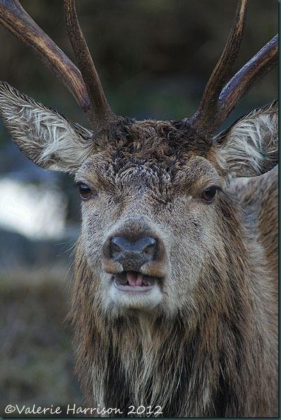13-red-deer