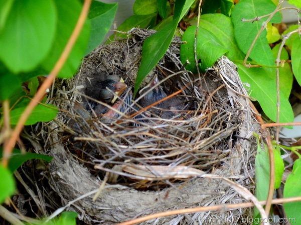 baby cardinals