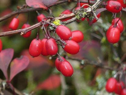 Осенние ягоды в Клайвдене
