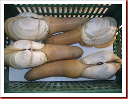 geoduck