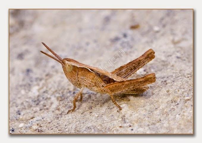 Grasshopper 1 cf-n