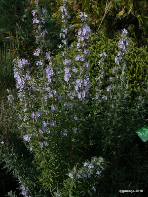 Rosmarinus officinalis - Romarin