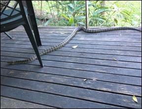 australian-python