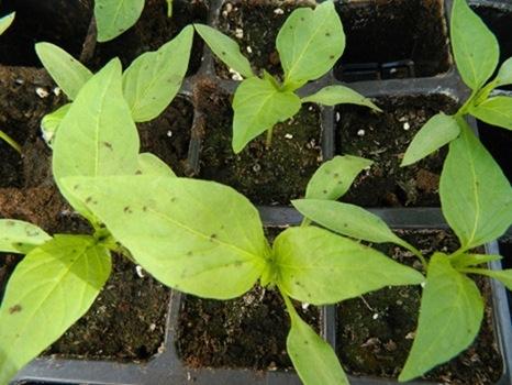 Τα παιδιά του 5ου Δημοτικού μοιράζουν δωρεάν φυτά από τοπικούς σπόρους (27.4.2013)