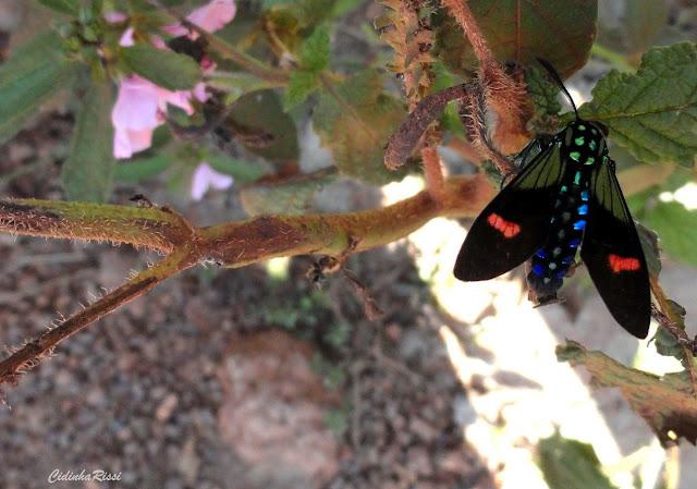 Arctiidae : Ctenuchinae : Belemnia inaurata (SULZER, 1776) ou B. eryx (FABRICIUS, 1775) ou B. crameri BUTLER, 1875. Colider (Mato Grosso, Brésil), mai 2011. Photo : Cidinha Rissi. http://www.barcodinglife.com/views/taxbrowser.php?taxon=Belemnia%20inaurata